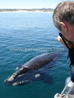 Whale watching boat trips Hermanus