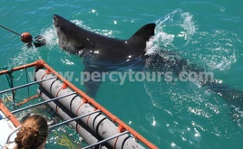 Great White Shark cage diving boat trips Hermanus